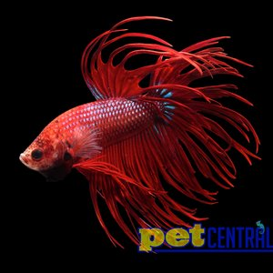 Assorted Premium Crowntail Betta Male LG
