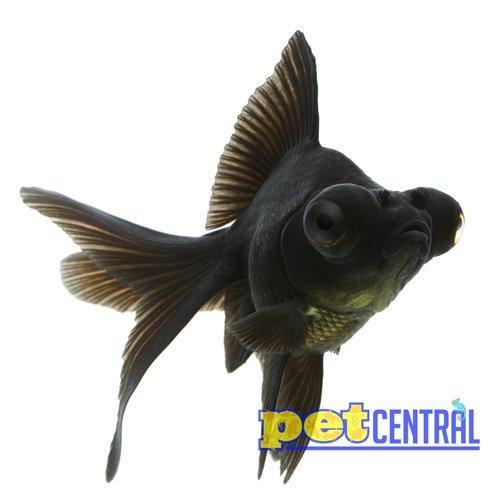 Black Moor Goldfish MD