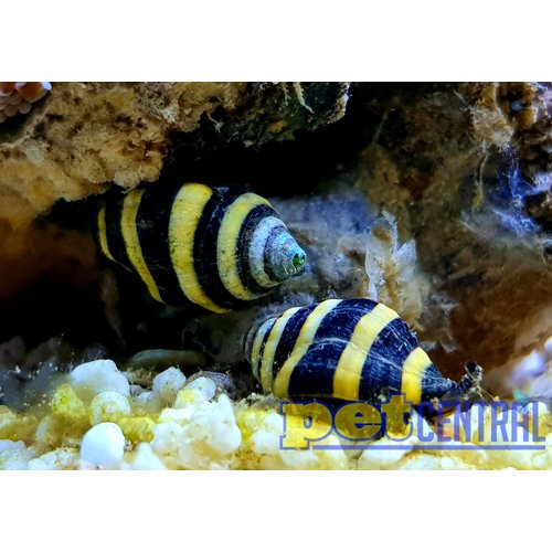 Bumblebee Snail