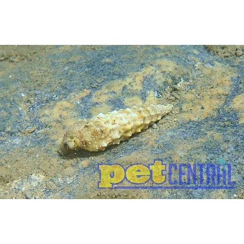 Cerith Snail XL Single