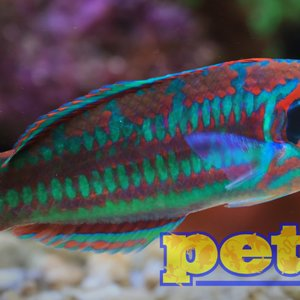 Indo-Pacific Christmas Wrasse MD (Indo-Pacific)