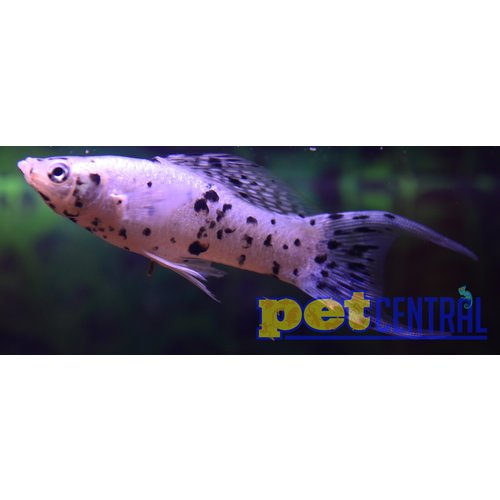 Dalmatian Lyretail Molly RG