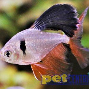 Longfin Serpae Tetra
