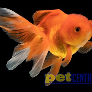 Assorted Oranda Goldfish MD