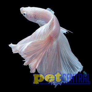 Platinum White Crowntail Betta Male LG