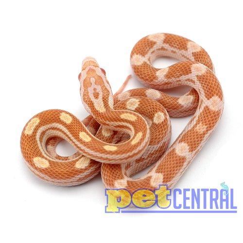 Butter Motley Corn Snake Baby