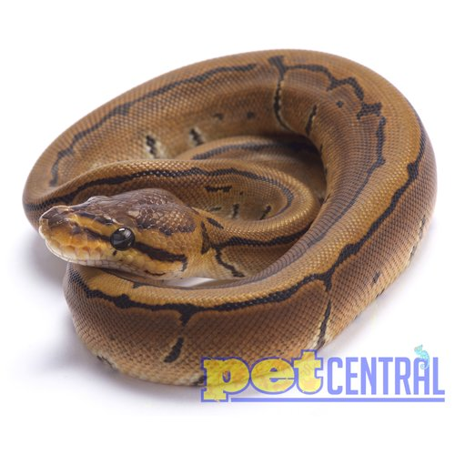 Pinstripe Ball Python Baby