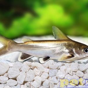 Blackfin Shark (South American) RG