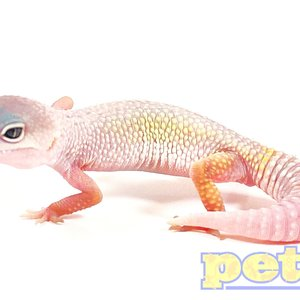 "Eclipse Mack Snow Albino Leopard Gecko Juvenile (4-6"")"