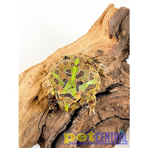 """Ornate Pacman Frog Baby (1-2"""")"""