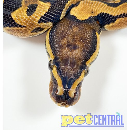 Scaleless Head Ball Python Male Baby