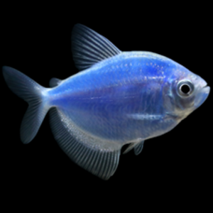 Glofish® Glofish® Tetra Cosmic Blue® RG