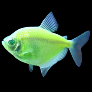 Glofish® Glofish® Tetra Electric Green RG