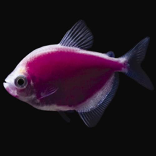 Glofish® Glofish® Tetra Galactic Purple® RG