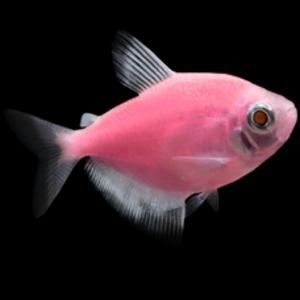 Glofish® Glofish® Tetra Moonrise Pink® RG