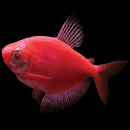 Glofish® Glofish® Tetra Starfire Red® RG
