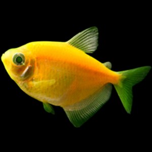 Glofish® Glofish® Tetra Sunburst Orange® RG