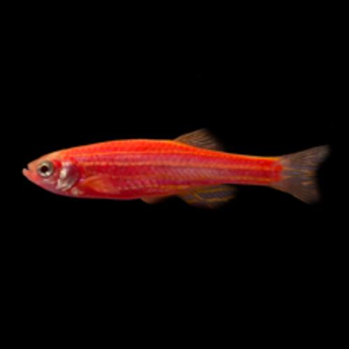 Glofish® Glofish® Danio Starfire Red® RG