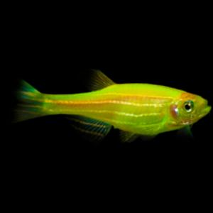 Glofish® Glofish® Danio Electric Green® RG