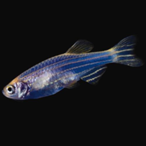 Glofish® Glofish® Danio Cosmic Blue® RG