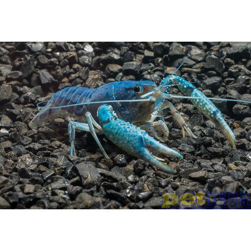 Electric Blue Crayfish (Lobster) RG