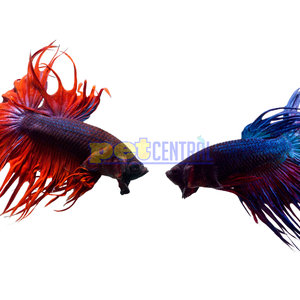 Crowntail Betta Male LG