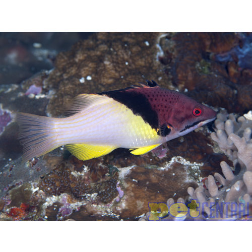 Coral Hogfish MD
