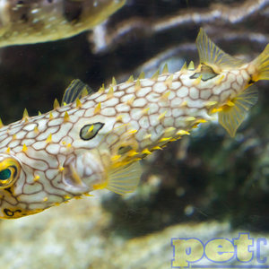 Spiny Box Puffer MD