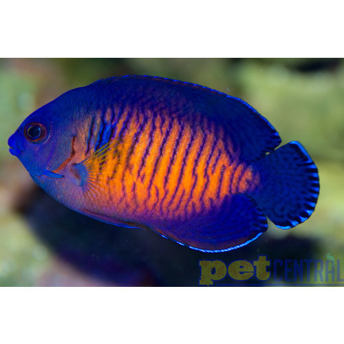 Fiji Coral Beauty Angel (Fiji) MD