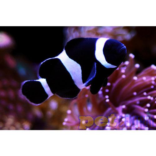 Sustainable Aquatics Black and White Ocellaris Clownfish (Sus. Aq.) SM