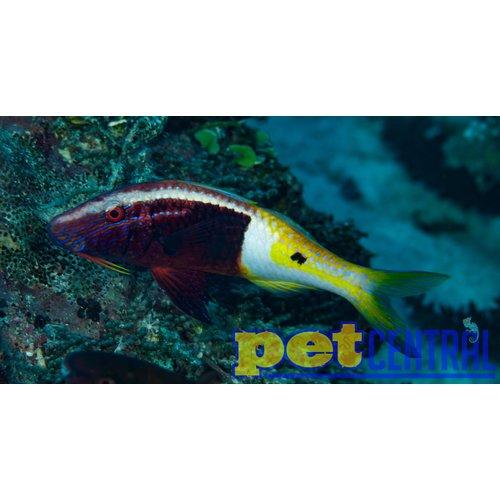 Fiji Bicolor Goatfish (Fiji) ML