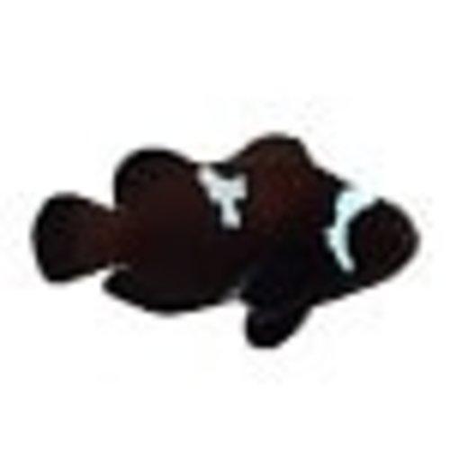 Sustainable Aquatics Midnight Black Lightning Clownfish (Sus. Aq.) LG