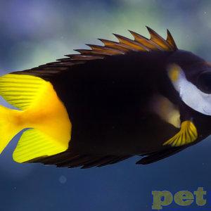 Fiji Fiji (Bicolor) Foxface (Fiji) XL