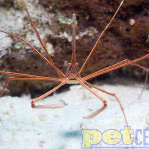 Arrow Crab XL