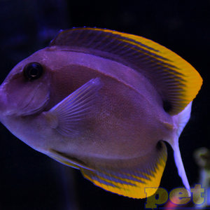 Tomini (Flame Fin) Tang MD