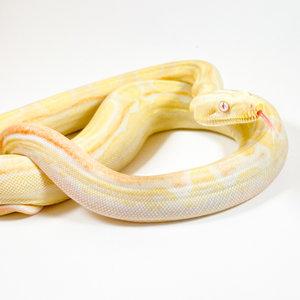 Albino Motley 100% Het Snow Boa Baby
