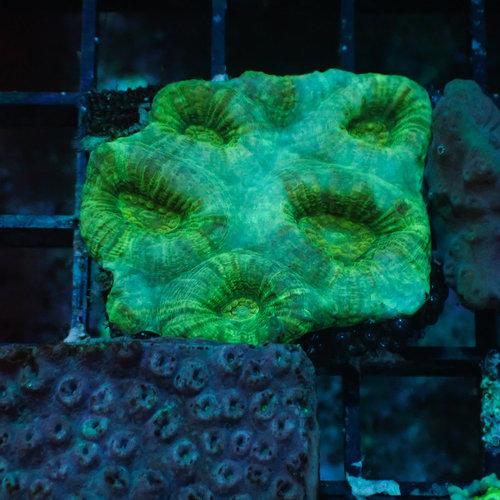 Assorted Coral Frag $20