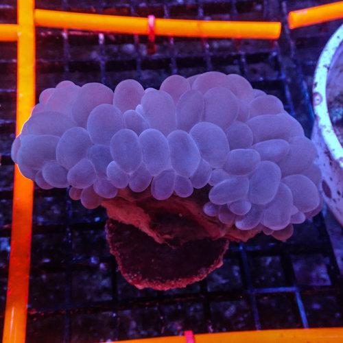 ORA Farm (MIMF) Bubble Coral (ORA MIMF)