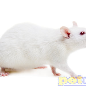 Frozen XL Rat