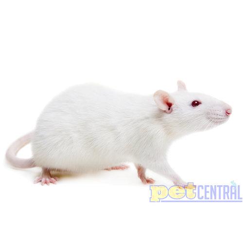 Frozen XXXL Rat