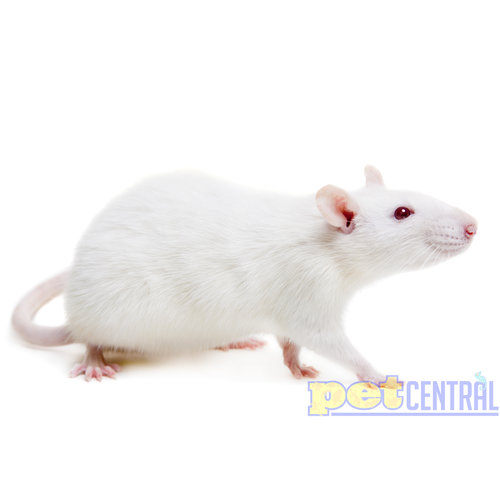 Frozen XXL Rat