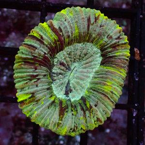 Australian Neon Green Cone Bottom Trachy SM