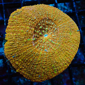 Orange Donut Coral LG