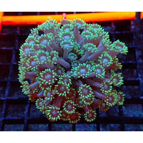 ORA Farm (MIMF) Long Polyp Goniopora (ORA MIMF)