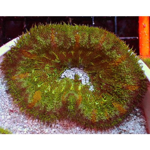 Mini-Maxi Carpet Anemone