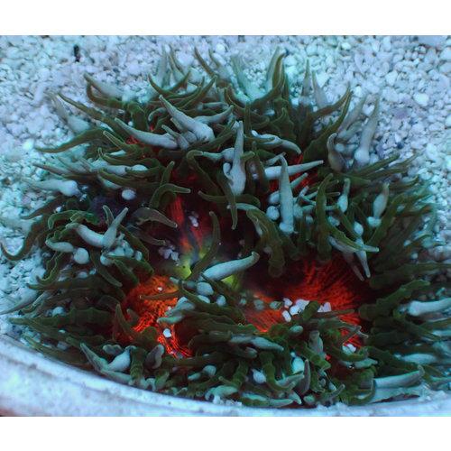 Carribean Color Flower Anemone (Carrib.)