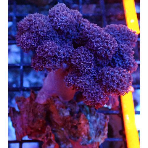 Colt Soft Coral SM