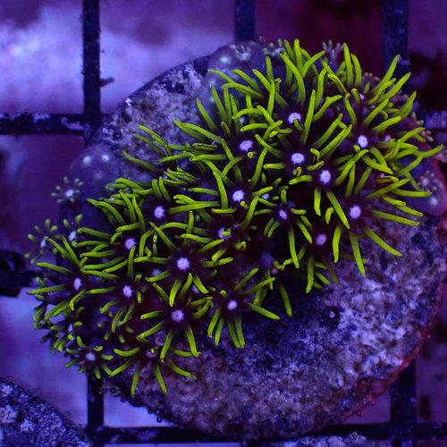 """Metallic Green Star Polyps Frag (1"""")"""