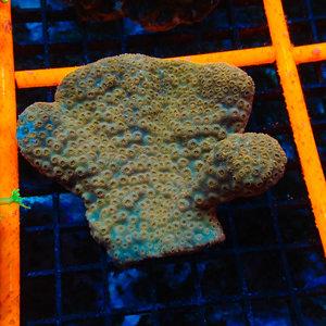 Australian Metallic Orange Pavona (Aust.)