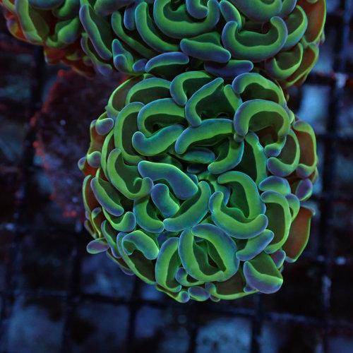 ORA Farm (MIMF) Hammer Coral (ORA MIMF)